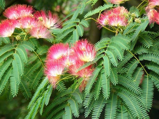 acacia de constantinopla bonsai