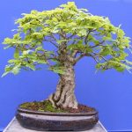 bonsai de carballo