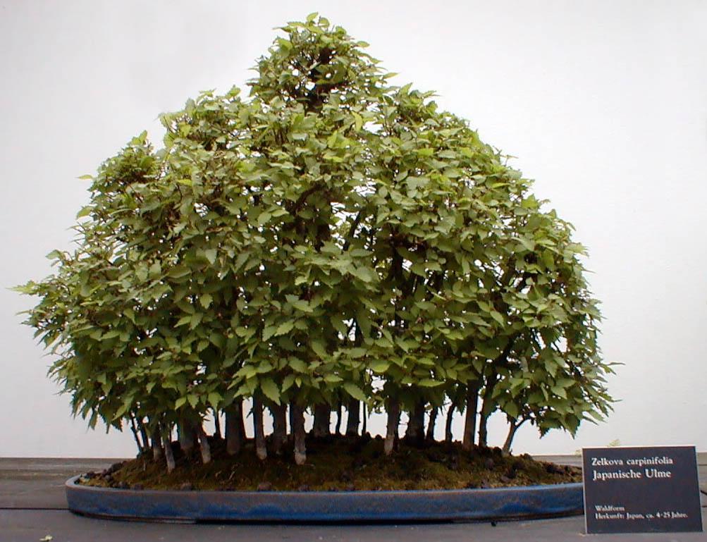 bonsai estilo bosque