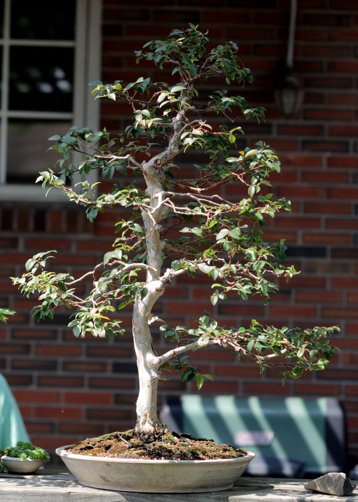 jaboticaba bonsái