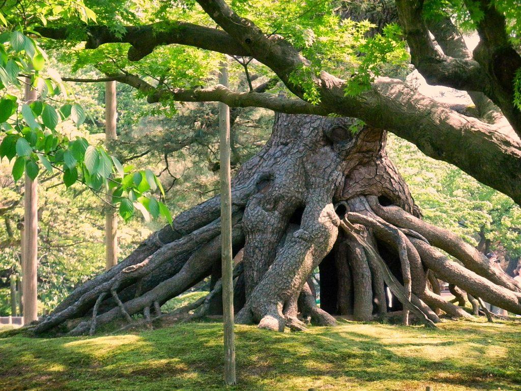 raíces expuestas bonsai