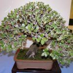 bonsai de quercus ilex