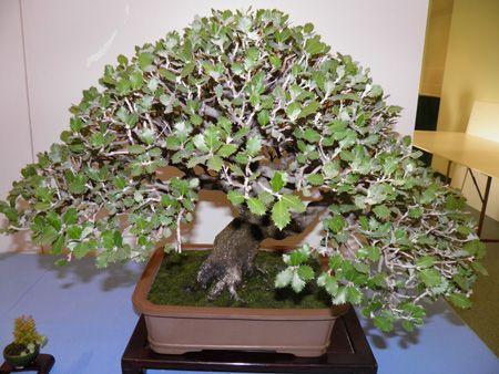 quercus ilex bonsái