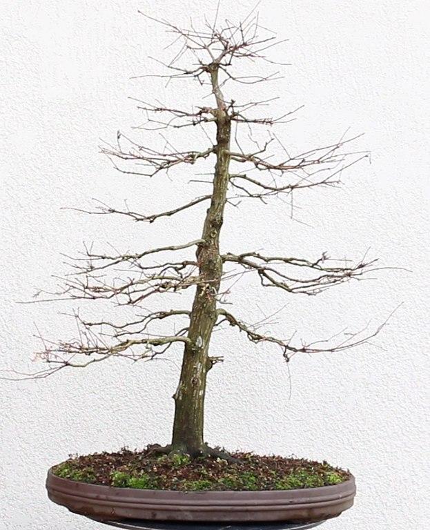 chokkan bonsai