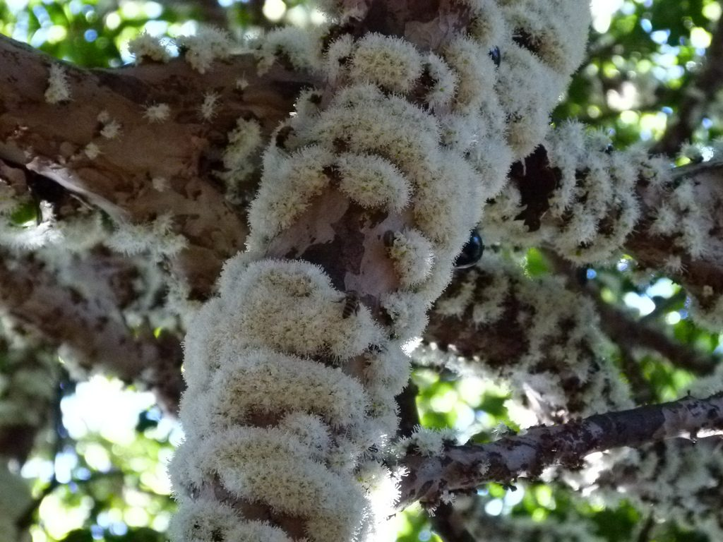 flor de la jaboticaba