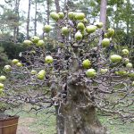 pseudocydonia bonsai