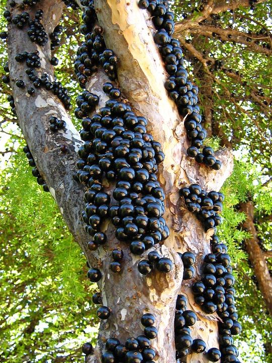 bonsai jaboticaba