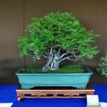 bonsái de jacarandá
