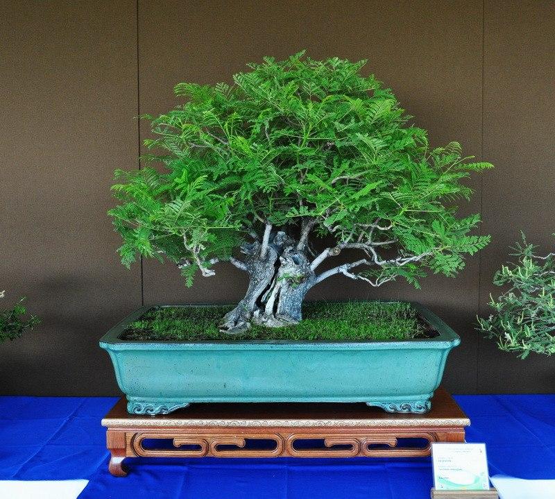jacaranda bonsái