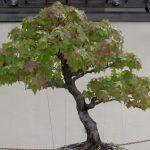 Liquidambar bonsái