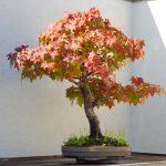 liquidambar bonsai