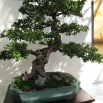 Estilos de bonsai