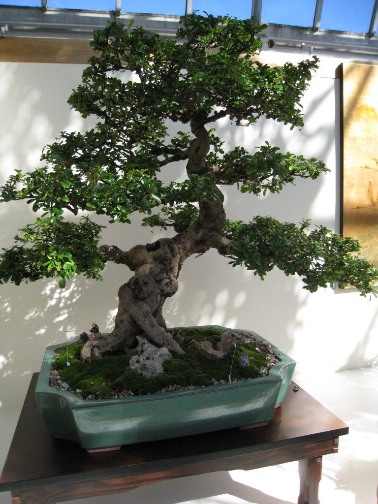 moyogi bonsai