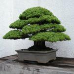 bonsái de pino