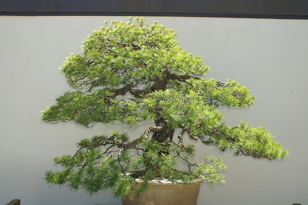 pino rojo bonsai