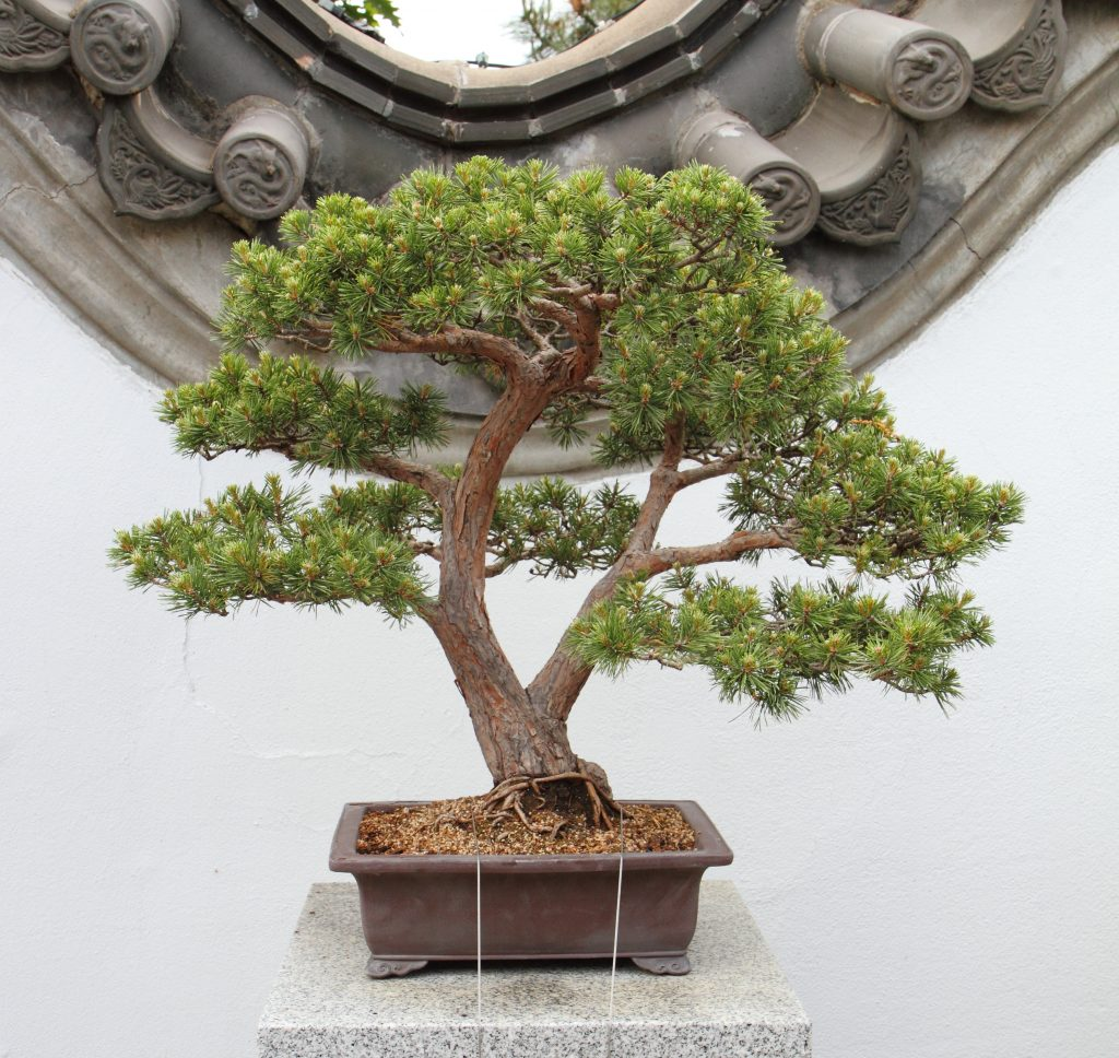bonsai pinus sylvestris