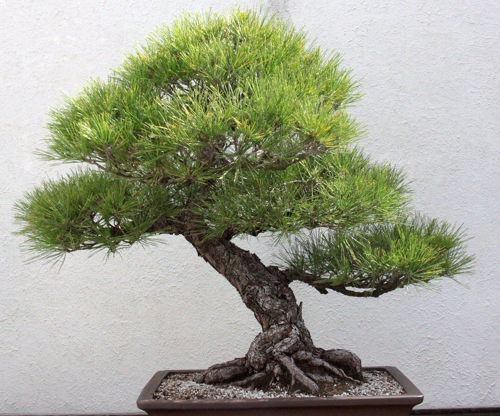 bonsai pino negro