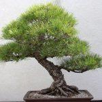 Pino bonsai