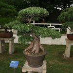 bonsai de podocarpus