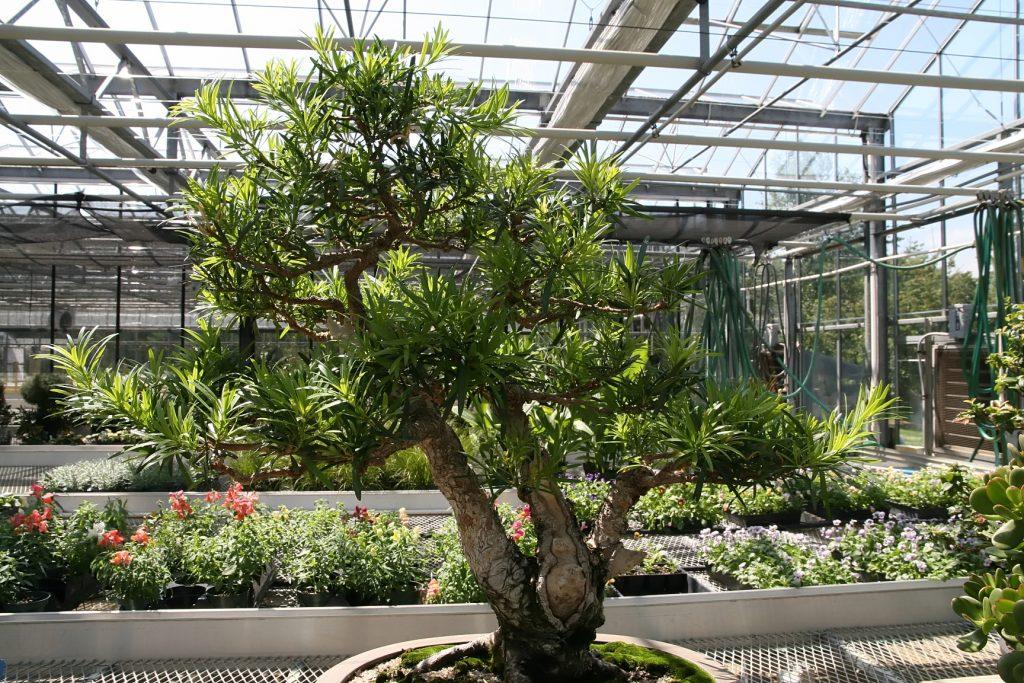 podocarpus estilo triple tronco