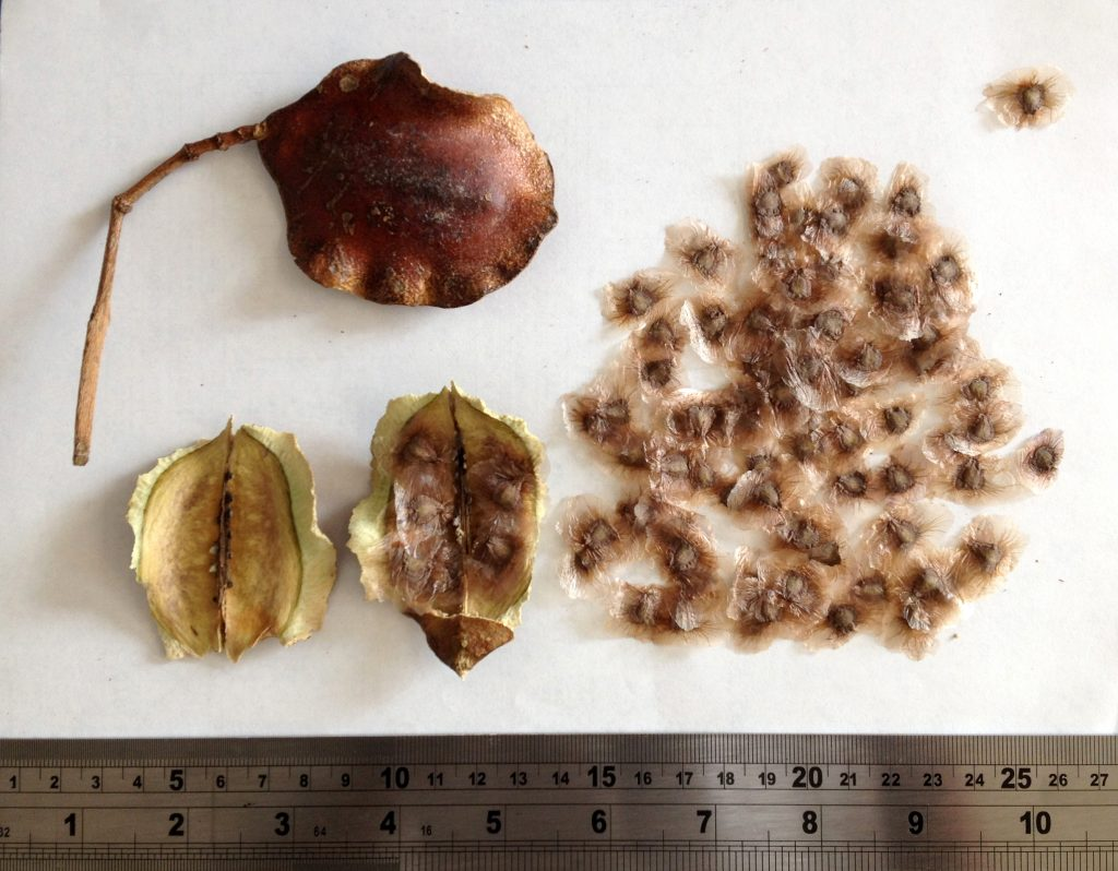 semillas de jacaranda