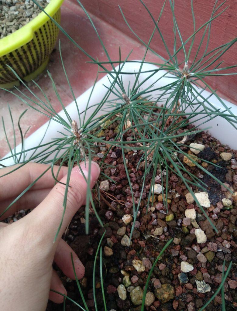 semillero de pinos negros
