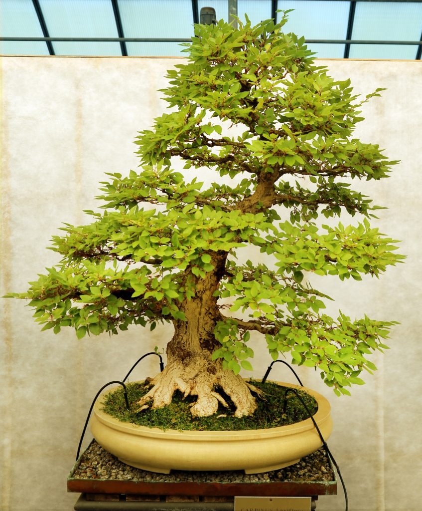 carpinus bonsai