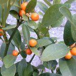 Naranjo bonsái