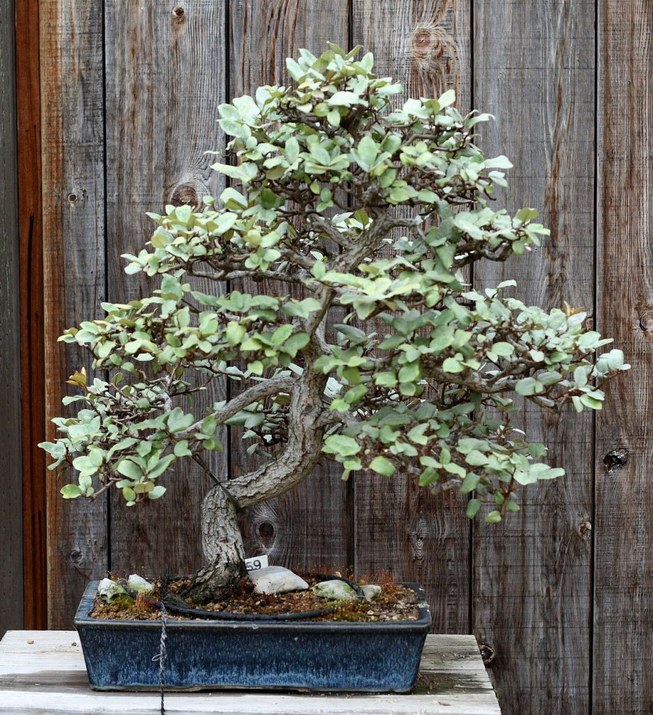 eleagnus pungens bonsai