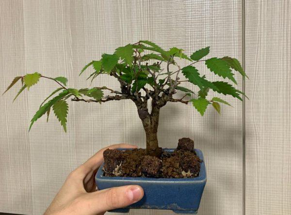 zelkova serrata con hojas