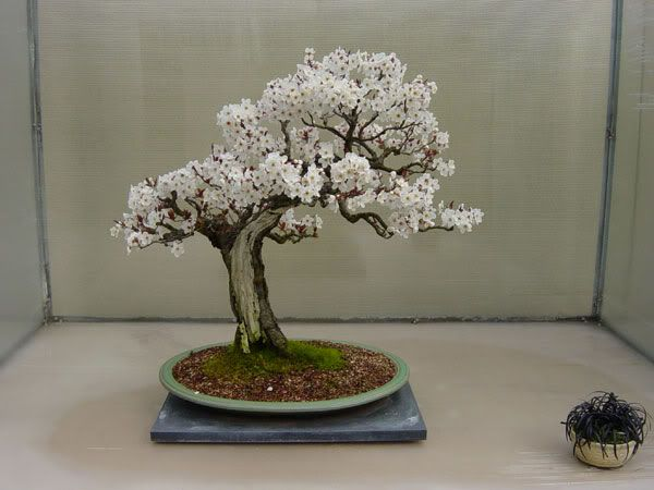 bonsai almendro en una exposición