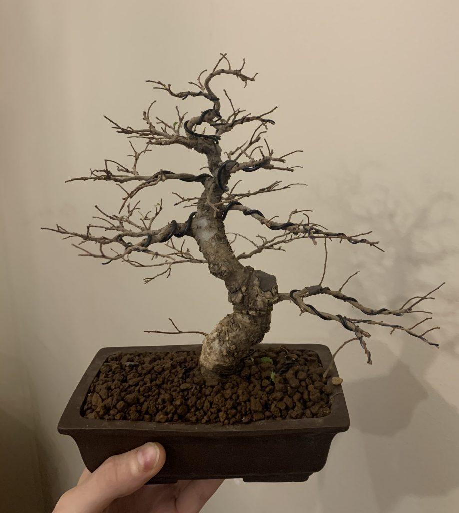 bonsai zelkova nire