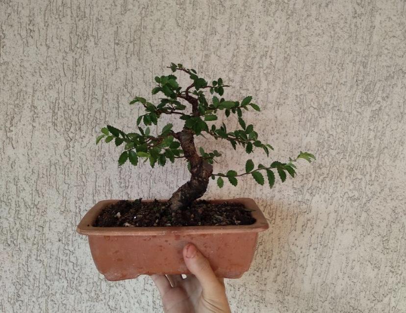 olmo nire bonsai