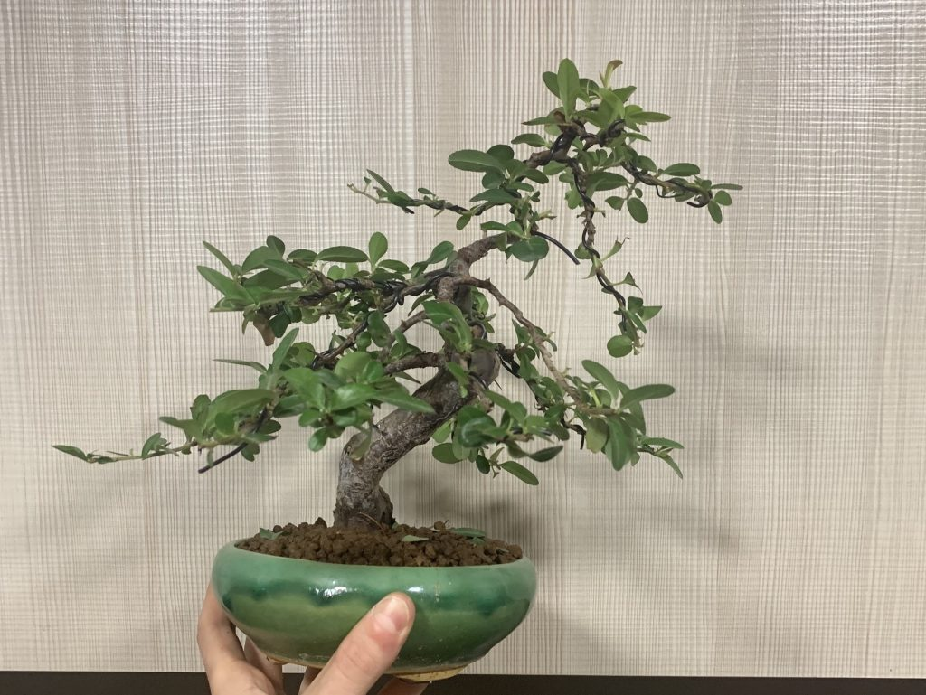 espino de fuego bonsái