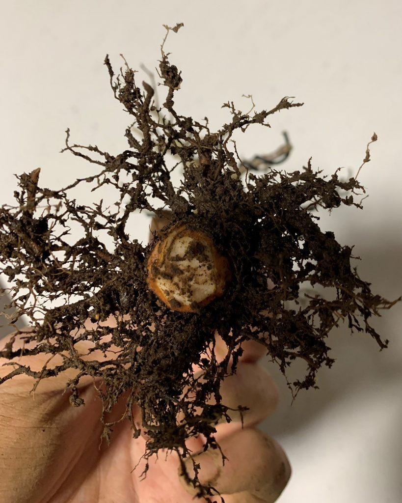 poda raíces zelkova japonesa