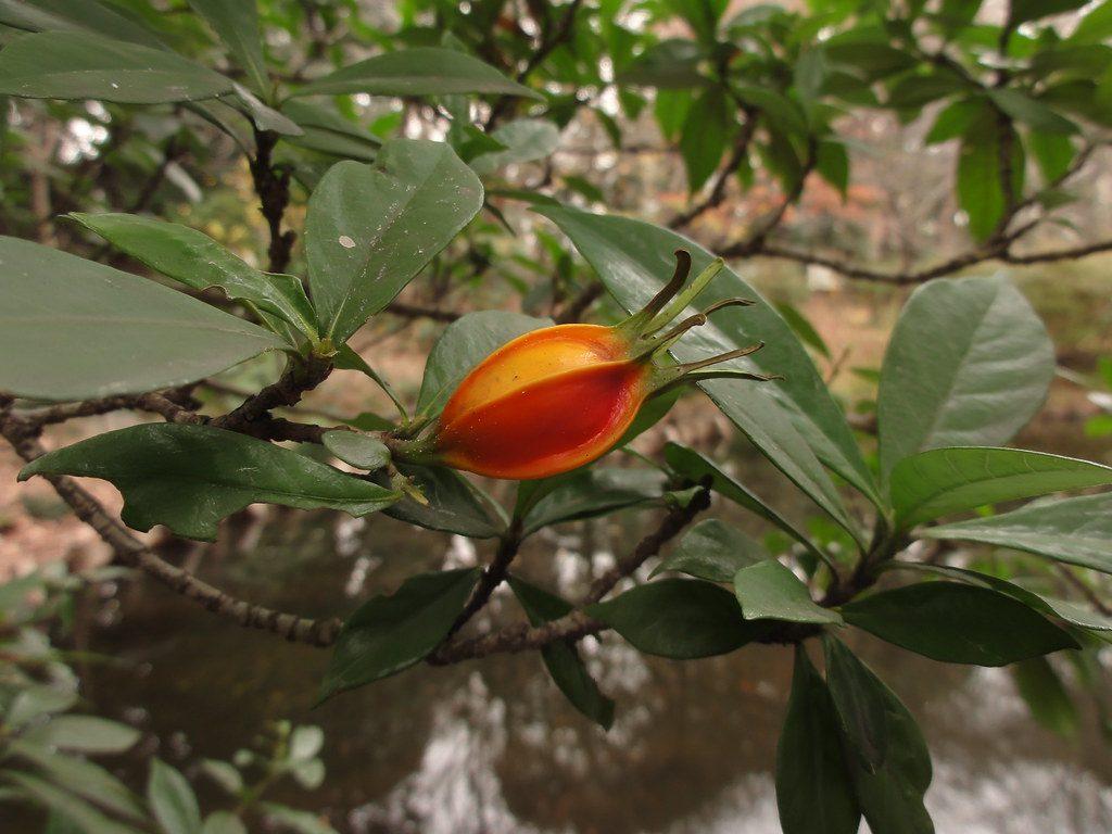 fruto de una gardenia jasminoides