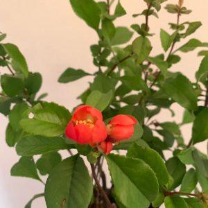 flor de chaenomeles