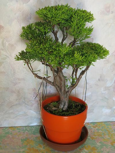 bonsai ciprés