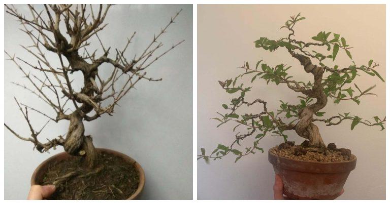 Evoluciones de bonsáis