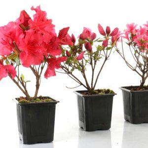 plantones japoneses
