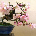 Bonsái de cerezo japonés