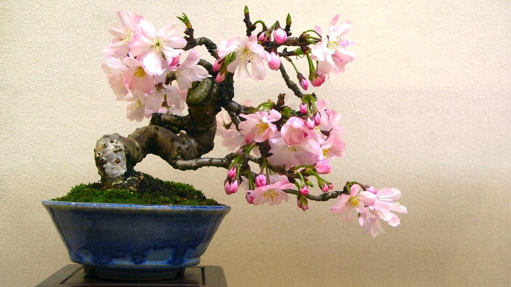 bonsai cerezo japonés
