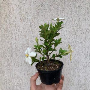 bonsai de gardenia jasminoides