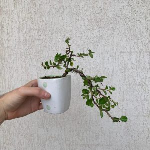 bonsa cotoneaster cascada