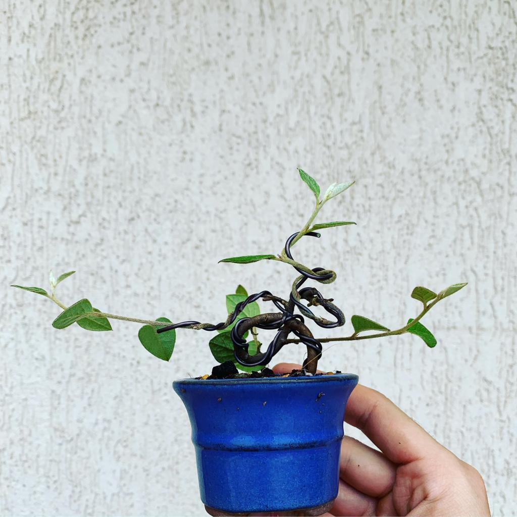 bonsai cotoneaster damneri