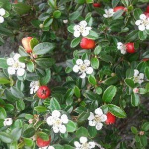 floracion cotoneaster