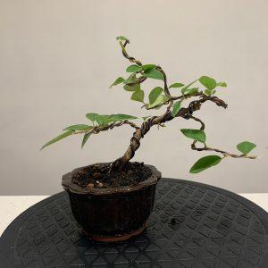 cotoneaster damneri bonsai