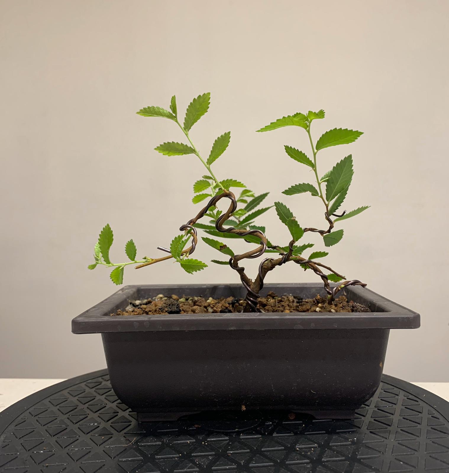 zelkova nire bonsai