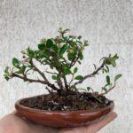 Formando mini bonsáis del futuro