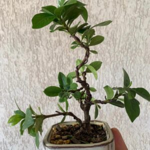 bonsái gardenia